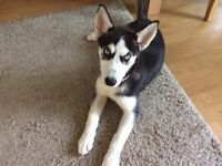 Siberian Husky (18week old) Pup for Sale - £300