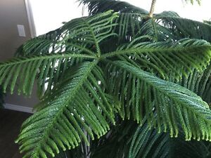 Beautiful Norfolk Island Pine plant for sale!