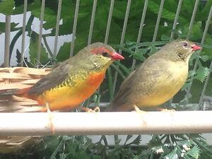 Young adult goldbreast finches