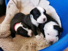 Staff pups
