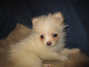 Very Special Pom Puppy looking for a VERY Special Person