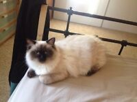 Male ragdoll Himalayan cat.