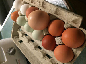 Free range chicken eggs, accepting new customers Prince George British Columbia image 3