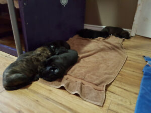 Boxer Puppy | Adopt Dogs & Puppies Locally in Ontario