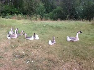 Purebred African Geese