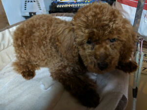 Caniche toy rouge ( tres rare )