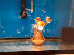 Two 30 gallon aquariums and marble angelfish pair