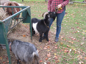 Male and Female Pygmy goats