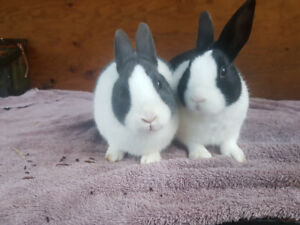 Female Bunnies and Hutch