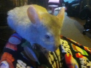 Young Chinchillas for sale