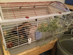 2 rabbits for sale plus cages and accessories