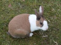Looking for a Dutch Bunny Rabbit