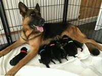 KC German Shepherd Puppies