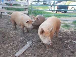 pure bred Tamworth Sows
