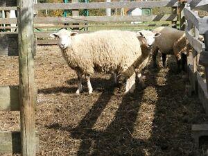 EWE Lamb - BFL/Cotswold/Shetland cross
