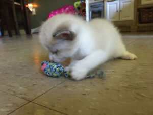 Beautiful blue eyed snowshoe kittens need forever homes Peterborough Peterborough Area image 3