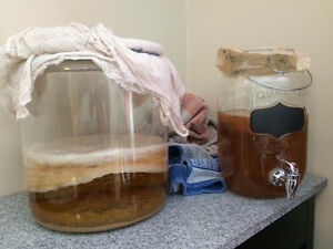 Kombucha and Jun SCOBY's