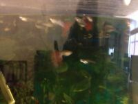 Male guppies for sale