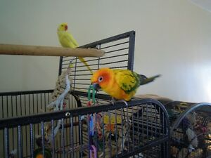 Sun and Gold Cap Conures for Sale