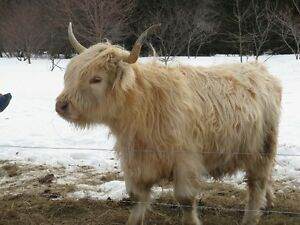 Highland Cows for sale