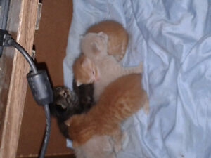 Kittens for sale to good home Windsor Region Ontario image 3