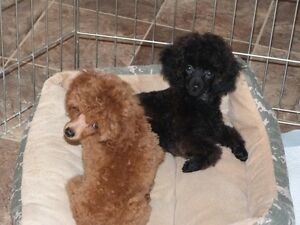 CKC REGISTERED TINY TOY POODLES.