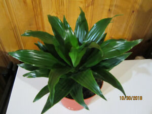 Dracaena - Janet Craig - (Air Cleaner & Low Light)