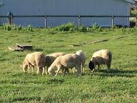 St criox lambs