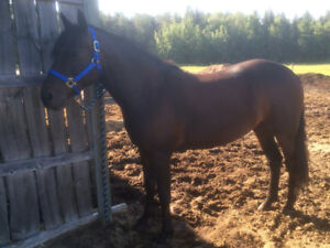 9 year old MORGAN MARE- priced to sell