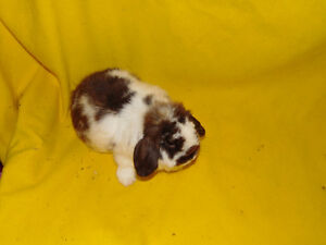 Holland Lop Female rabbit - special needs London Ontario image 2