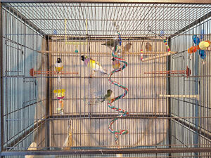 *** LADY GOULDIAN FINCHES ***