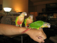 beautiful Tame Pineapple and green cheek conure for sale