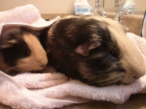 Two male guinea pigs for sale in Clayton heights!