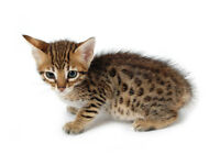 INCREDIBLE SAVANNAH KITTENS - F4 SBT Available Now!