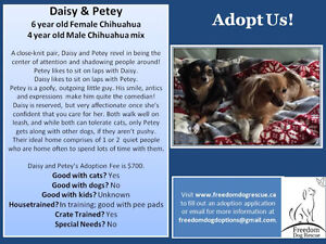 Daisy and Petey: Female Chihuahua and Male Chihuahua mix