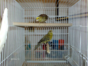 A breeding pair of lizard canary 2015 ....very healthy...male is