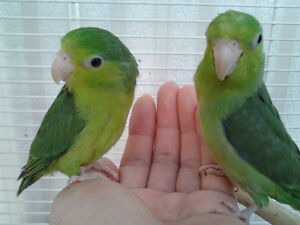HAND RAISED SMALL PARROT & CAGE FOR SALE