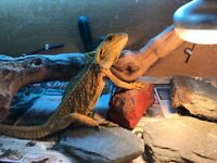 6 year old male bearded dragon and full set up