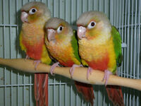 SALE Baby Pineapple greencheek conure Parrot hand feed