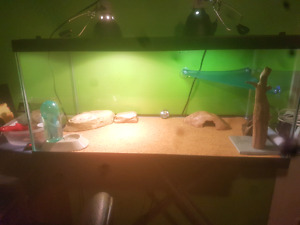 Bearded dragon & everything needed