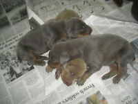 DOBERMAN PUPPIES FOR SALE .