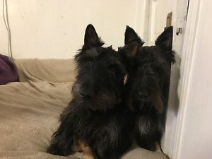 CKC Registered Scottish Terrier puppies