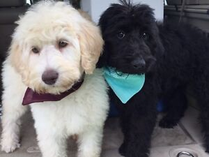 Non-shedding F1b Labradoodle Puppies READY