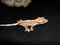 10 lot of crested geckos