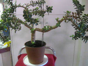 "MASSIVE YOUNG ""BONSAI-SHAPED"" JADE TREE HOUSE PLANT"