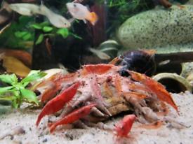 Cherry shrimp red