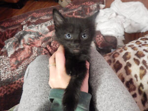 GORGEOUS ONE OF A KIND...Black Male Kitten