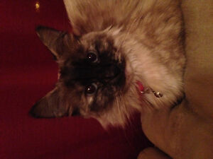 LOST SNOWSHOE SIAMESE CROSS WITH PERSIAN