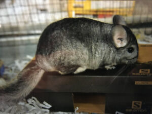 Looking for a Chinchilla
