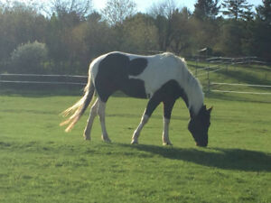 Miss Raye - 5 Yr Old 15.2 HH Tobiano Paint Mare